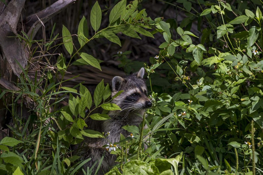 Adorable Raccoon Hiding in the Brush at Wekiwa Springs