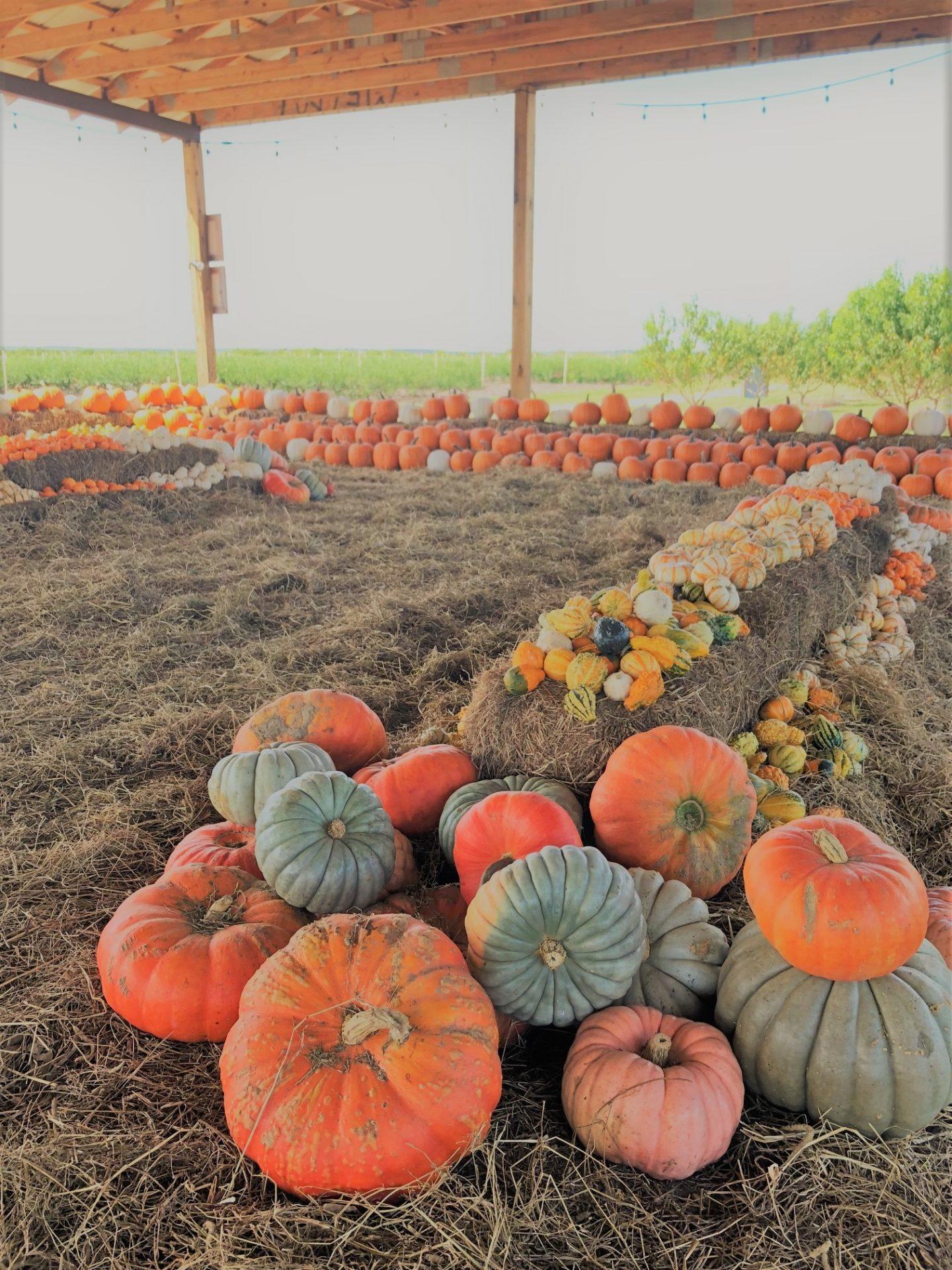 southern hills pumpkins