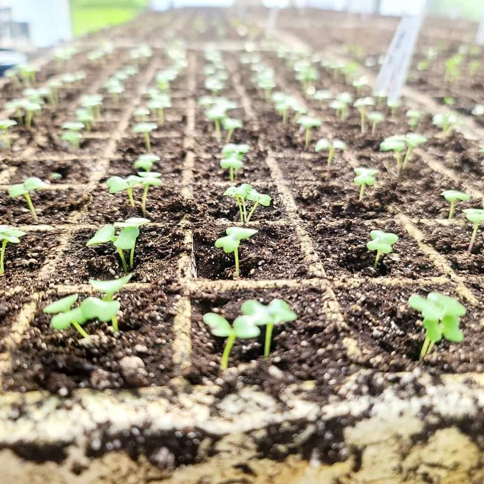 Bekemyere family farm microgreens