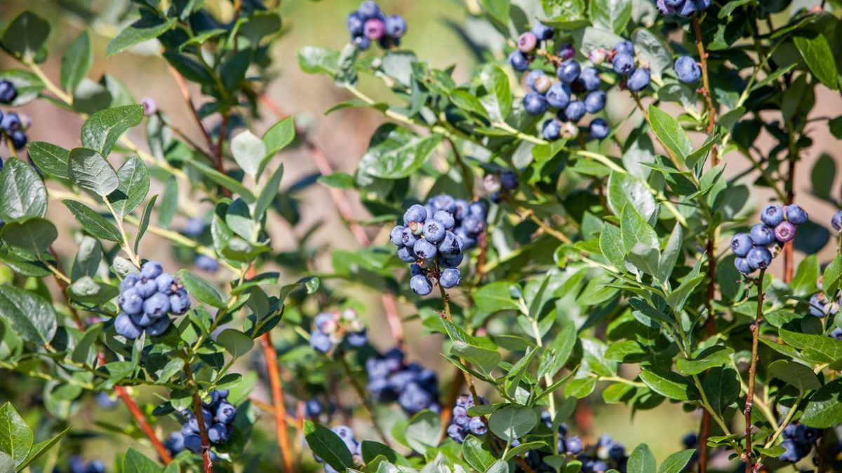 lake catherine blueberries patch